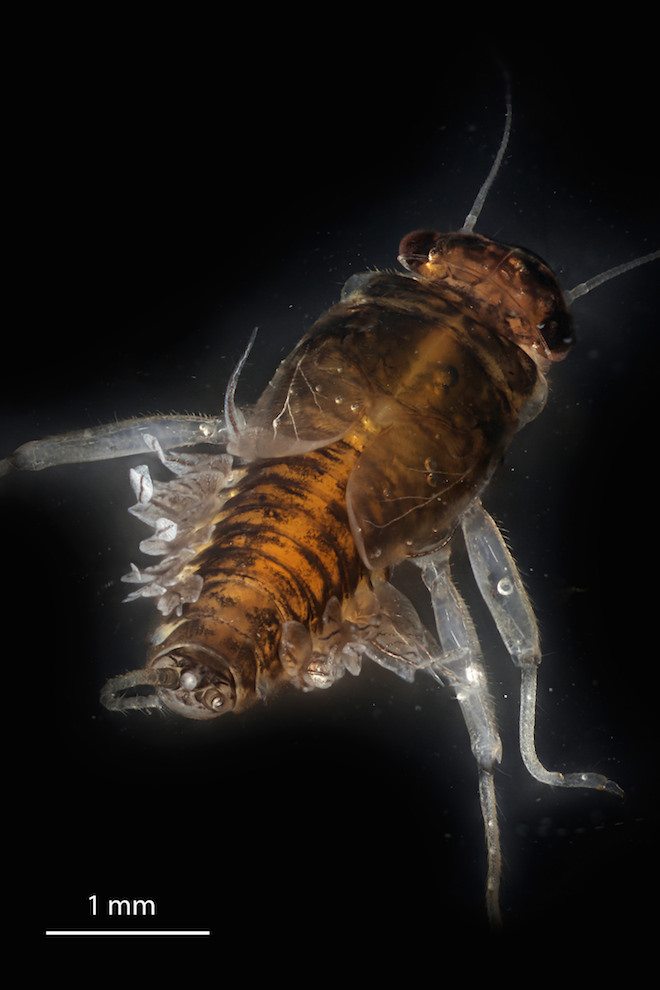 mayfly larva wide